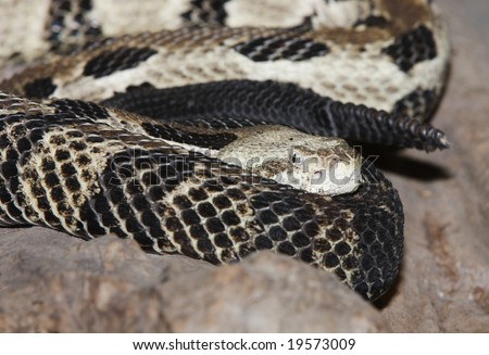 A close up face of a timber rattlesnake, with the rattle next to it. - stock photo