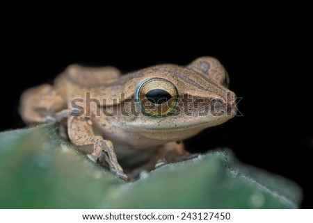 A close-up Four-lined tree frog (Amphibia, Anura, Rhacophoridae). Image has grain or noise and soft focus when view at full resolution. (Shallow DOF, slight motion blur ) - stock photo
