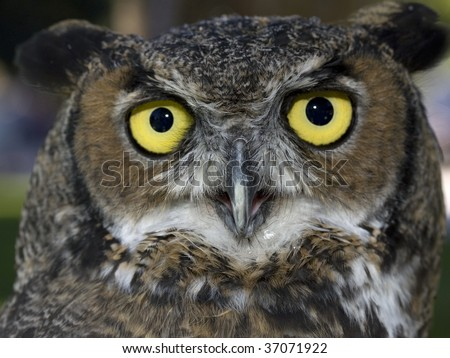 A close up image of a great horned owl and its bright yellow eyes. - stock photo