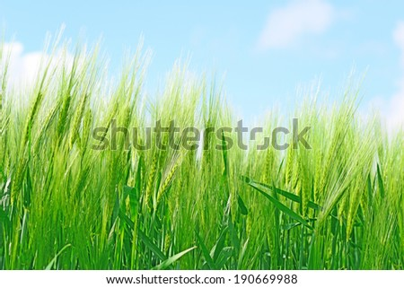 A close up image of growing wheat against a blue sky with white fluffy clouds - stock photo