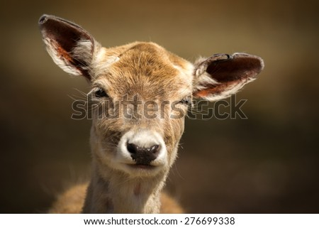 A close-up image of the face of a very cute, young baby deer making a funny facial expression.