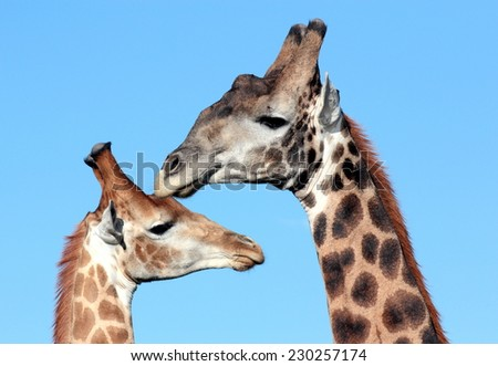 A close up image of two giraffe in South Africa - stock photo