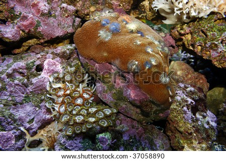 A close-up image of two types of live corals in a reef aquarium. - stock photo