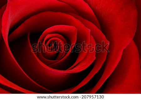 A close up macro of a vibrant red rose.