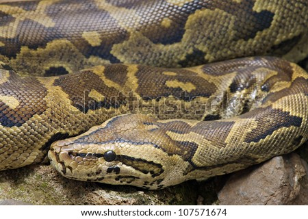 A close-up (macro) of a WILD African Rock Python (Python sebae) in Kenya, Africa. - stock photo