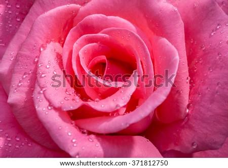A close up macro shot of a pink rose - stock photo