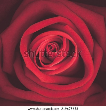 A close up macro shot of a red rose, vintage tone - stock photo