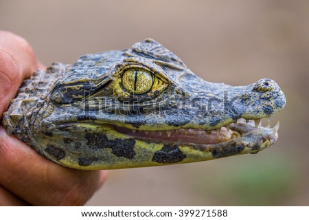 A close-up of a baby crocodile with sharp teeth and a shiny eye - Rainforest, BOLIVIA in September 2015 - stock photo