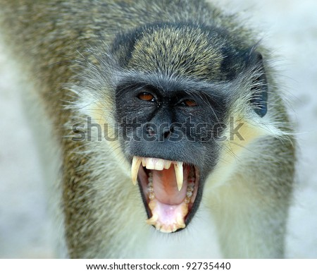 A close up of a black faced vervet monkey baring its teeth