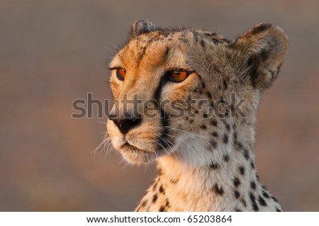 A close up of a cheetah's head - stock photo