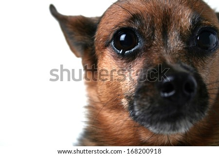 a close up of a chihuahua's face (focus on the eye) - stock photo