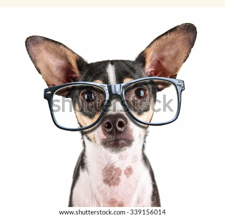 a close up of a chihuahua's face with cool trendy hipster or nerd geek black frame glasses on his face  - stock photo