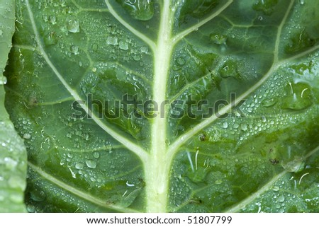 A close up of a collard green leaf with water drops on it. - stock photo