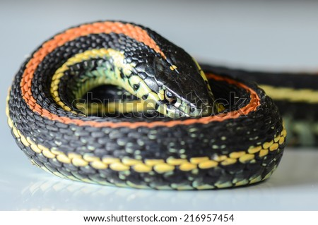 A close up of a common garter snake