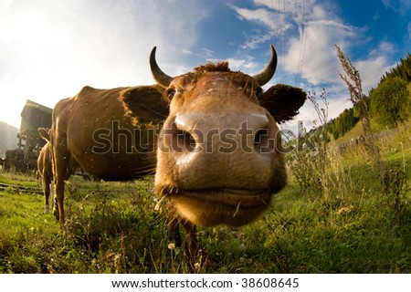 A close up of a cow's head. Shallow DOF with focus on the eyes. - stock photo