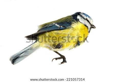 A close-up of a deceased blue tit  - stock photo