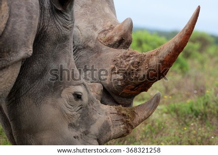 A close up of a female rhino / rhinoceros and her calf. Showing off her beautiful horn. Protecting her calf. South Africa - stock photo