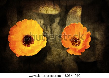 a close up of a flower of adonis on a grunged canvas background