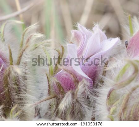 A close up of a fuzzy wild  crocus - stock photo