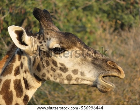 A close up of a giraffe in South Luangwa National Park, Zambia