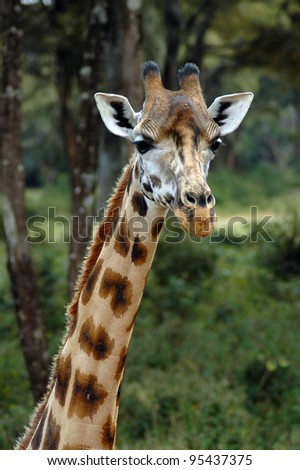 A close up of a giraffes neck and head looking to the front