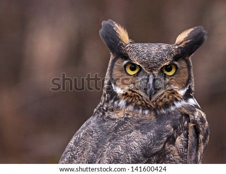 A close-up of a Great Horned Owl (Bubo virginianus) looking back at something.  - stock photo