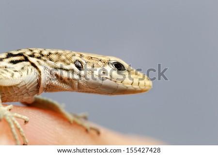 A close up of a green lizard - stock photo