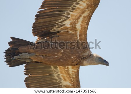 a close up of a griffon vulture - stock photo