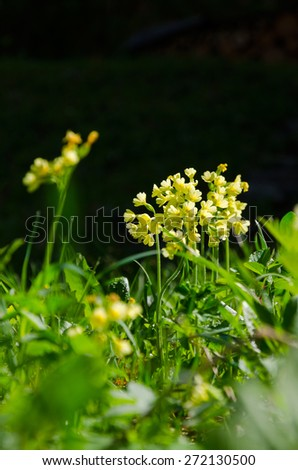 A close up of a group of wild yellow Primula Veris blossoms in a fresh spring forest meadow with grass and dew drops on a dark black background - stock photo