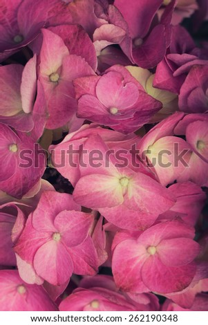 A close up of a  Hydrangea flower