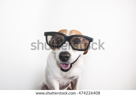 A close up of a Jack Russell's face with cool trendy hipster or nerd geek black frame glasses on his face