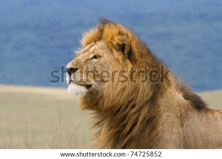 A close up of a large male lion in the Ngorongoro Crater