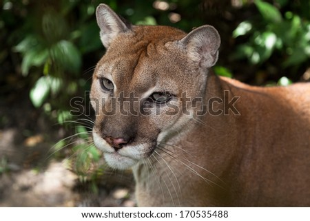 A close up of a large mountain lion or cougar in the jungle of Belize. - stock photo
