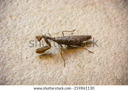 A close-up of a large preying mantis on a stone step. The insect is looking at the camera. - stock photo