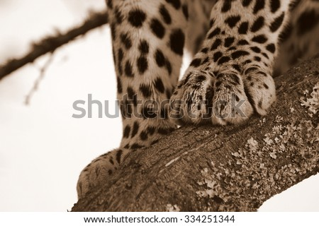 A close up of a leopards paws as he sits in a tree in South Africa - stock photo