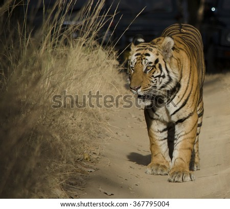 A close up of a Male Bengal Tiger.Image captured during a safari at Bandhavgarh National park in Madhya Pradesh,India Scientific name- Panthera Tigris - stock photo