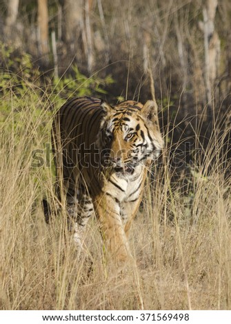 A close up of a Male Bengal Tiger walking through tall grass.Image taken at a national park in the state of Madhya Pradesh in India in the month of January in 2016 Scientific name- Panthera Tigris - stock photo
