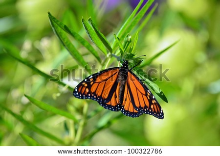 A close-up of a monarch butterfly on a swan plant.