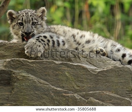 A close-up of a 3-month old snow leopard (panthera uncia) cub.