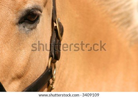 A close up of a Norwegian Fjord horse, brown dun coated.