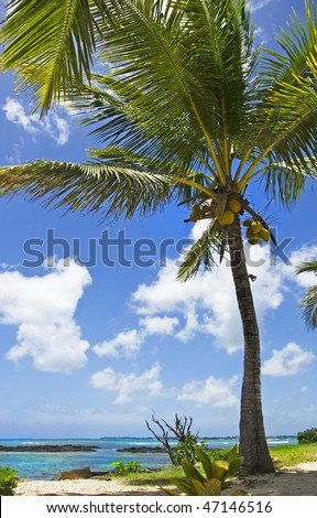 a Close up of a palm tree with coconuts and tropical blue water in the background - focus on the coconuts