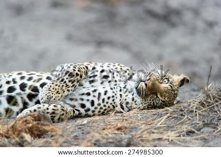 A close up of a playful leopard rolling on the ground - stock photo