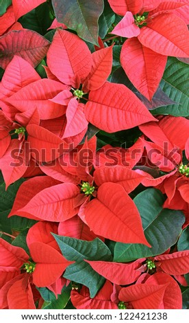 A close-up of a poinsettia flower. - stock photo