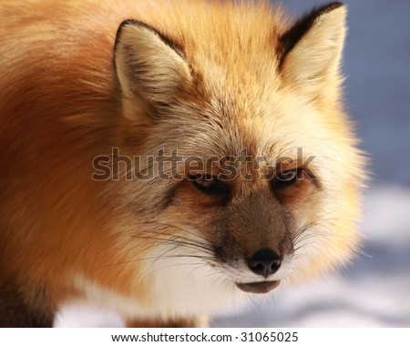 A close-up of a red fox (vulpes vulpes) - stock photo
