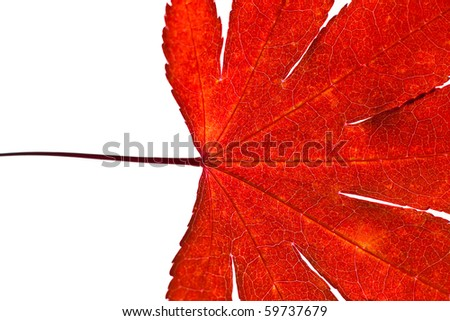 A close up of a red japanese maple leaf on a white background