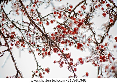 A close up of a thick layer of ice covered branches and crab apples on a tree.  Photographed with a shallow depth of field.  - stock photo