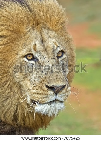 A close up of a very angry Male lion