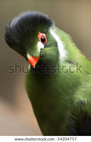 A close-up of a white-cheeked turaco (turaco leucotis). - stock photo