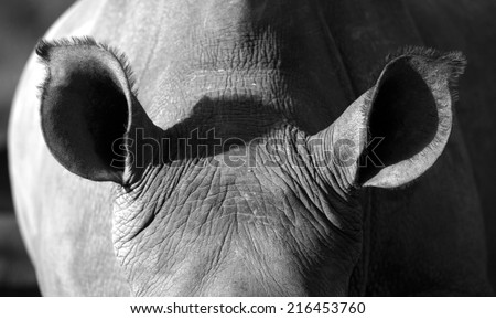 A close up of a white rhinoceros / rhino ears in this abstract image. - stock photo