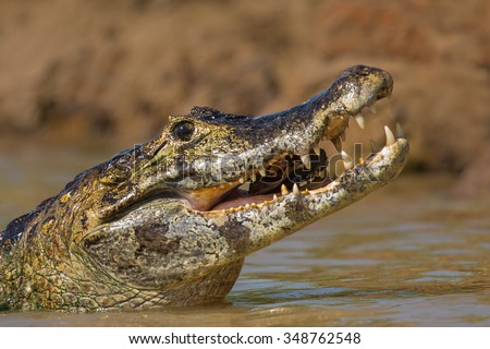 A close up of a wild Yacare Caiman (Caiman yacare)  with jaws open swallowing a fish, Pantanal, Brazil - stock photo